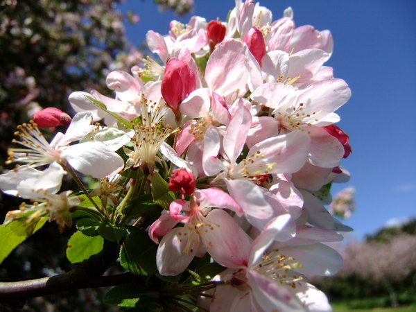 spring blossoms: crab apple blossom