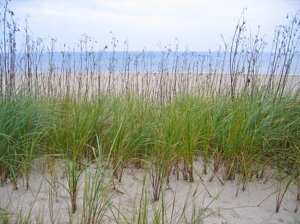 dune grass at the coast: dune grass at the coast of the baltic sea