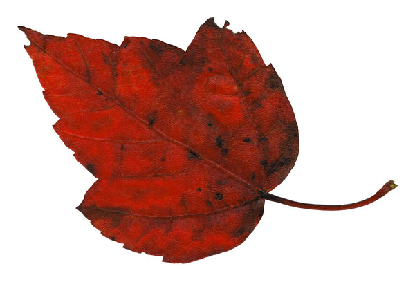 Leaf 4: An isolated fall leaf.