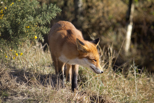 Fox: A fox (Vulpes vulpes) in Sussex, England.