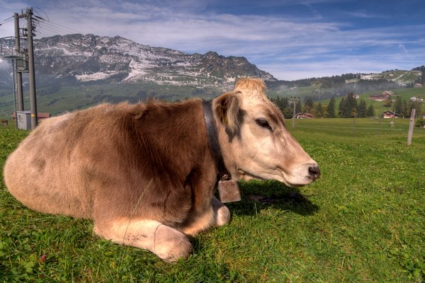 Swiss cow - HDR: Swiss cow laying with the Alpes as background. The image is HDR.
