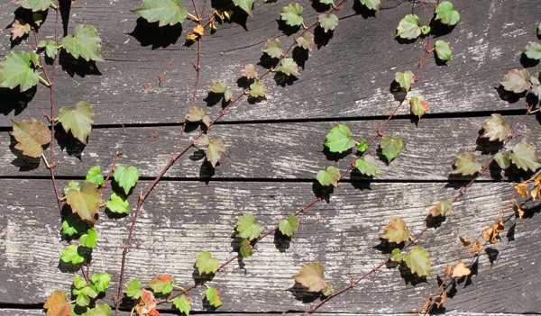 Ivy: Ivy on wood.