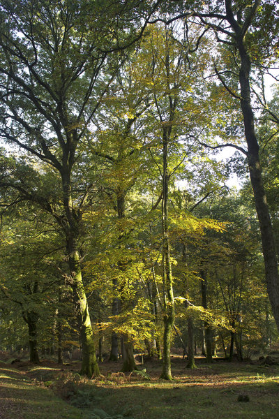 Autumn forest: Deciduous trees in the New Forest, Hampshire, England, in autumn.