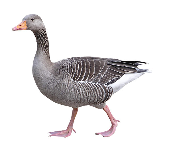 Goose isolated: A bird.