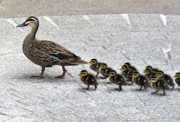 walk this way: Australian wild duck leading and guiding her chicks
