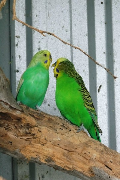 Green Aviary Budgies: two green budgies greet each other
