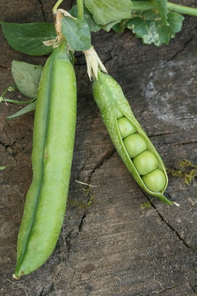 Pea Pods: Still life of pea pods on a wood slab.