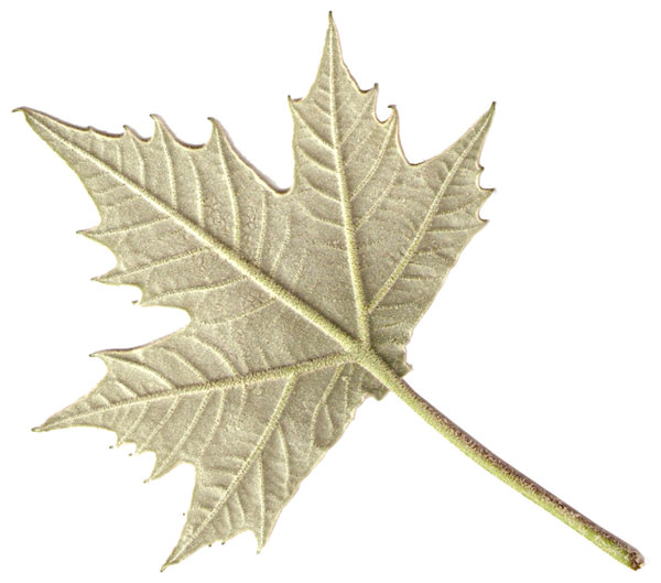the back side of  a maple leaf: the back side of a little maple leaf