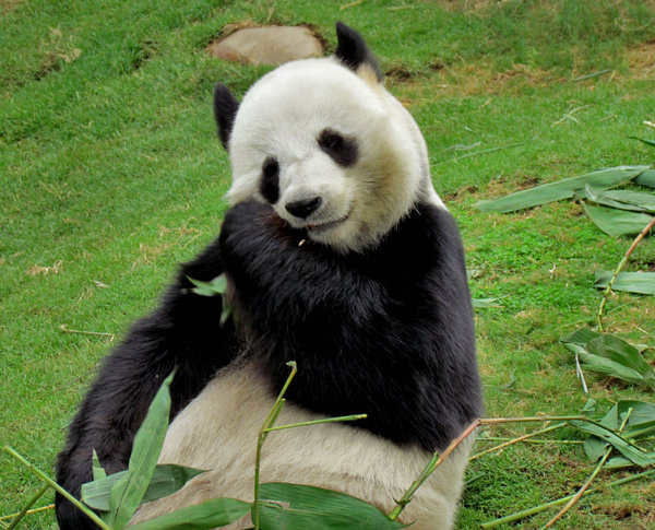 panda snack time9: giant panda snacking on bamboo
