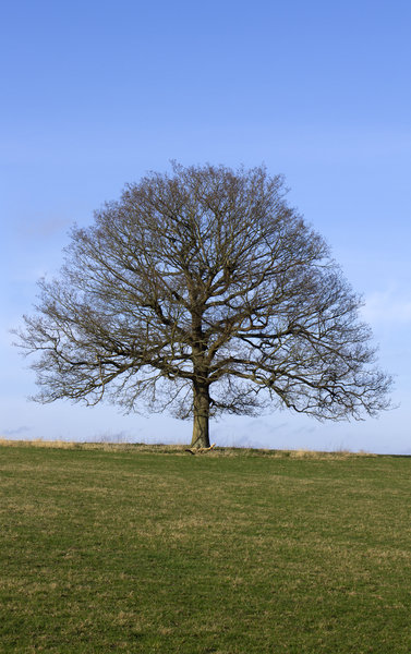Oak tree in early spring: An isolated oak (Quercus) tree on a ridge in West Sussex, England, in early spring.