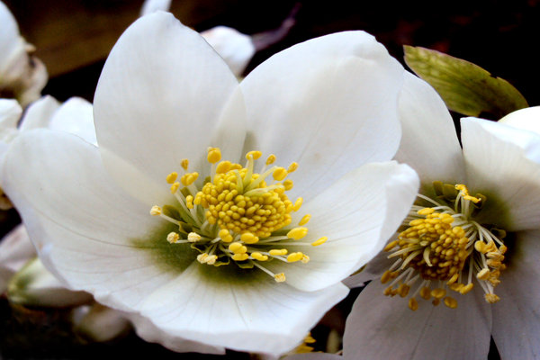 White Hellebores: The vibrant clear cut colours of the white hellebores