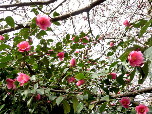 Rose pink interweave: My neighbour's camellia weaves a pattern of pink blossom in the sky