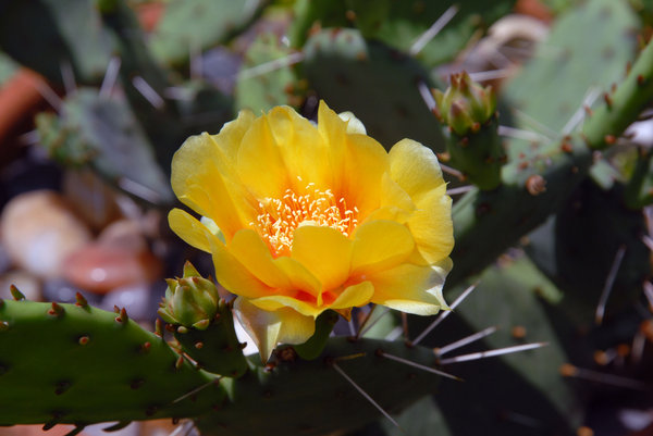 Cactus Flower: A prickley pear cactus flower.