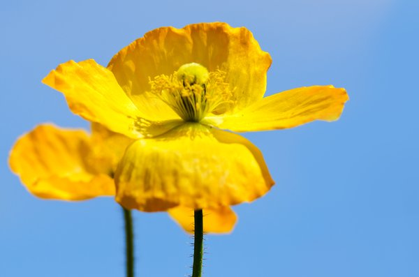 Yellow poppies: yellow poppies