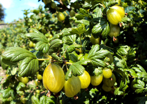 Gooseberries: Succulent gooseberries ripening in the sun