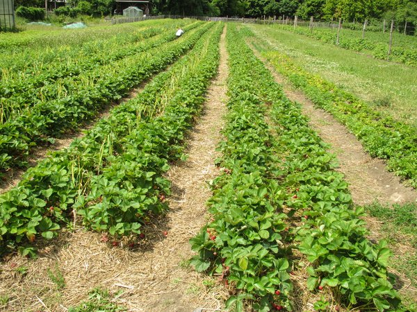 ripe organic strawberry field