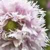 Fluffy pink poppy
