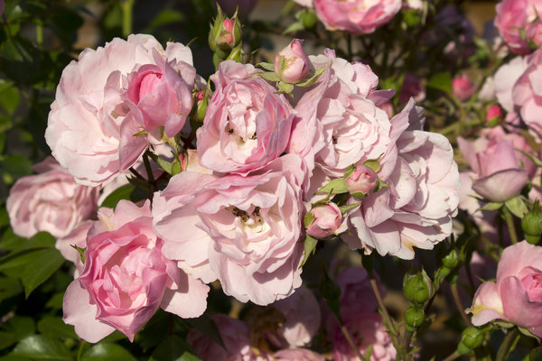 Pink roses: Roses in an English garden.