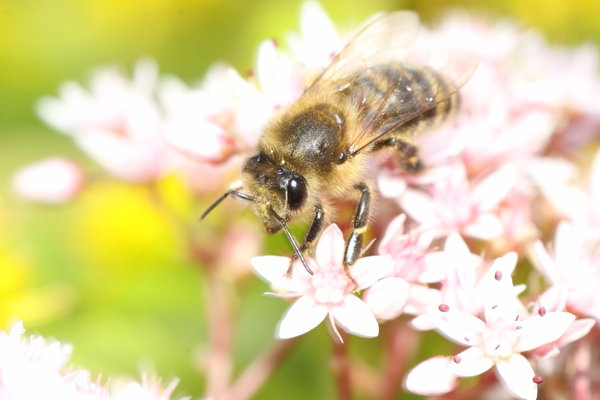 Honey Bee 2: Honey bee on blossom