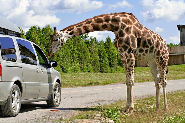 Gentle Giraffe: Giraffe graciously accepting food from tourists at a safari park.