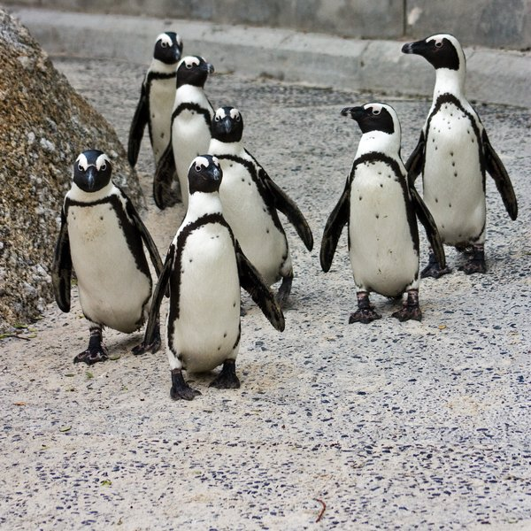 Penguin Posse: Group of African penguins at Boulders Beach near Cape Town, South Africa.