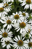 White coneflowers