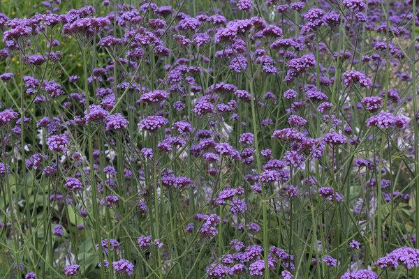 Free stock photos rgbstock free stock images slender purple slender purple flowers mightylinksfo