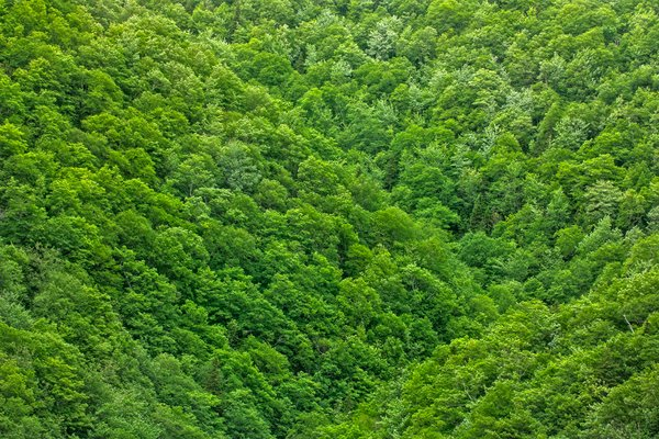 Green Foliage Texture - HDR: Wide-angle view of a densely wooded area in Cape Breton, Nova Scotia. Perhaps not the best in terms of pictorial value, but I hope it can still serve some useful purpose like as a textured background or overlay. HDR composite from multiple exposures.