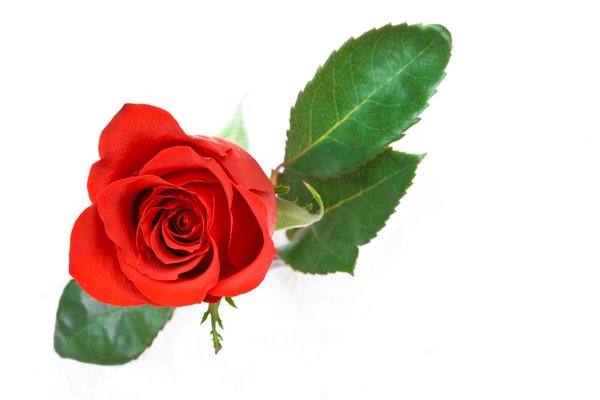 Red Rose: Red rose isolated on a white background.