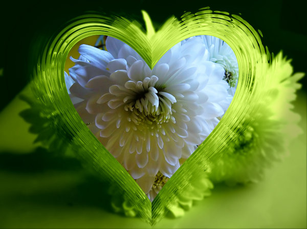 Heart of Glass 2: A green glass heart frame effect on a white chrysanthemum. Suitable for a texture, background, backdrop or fill, a birthday card or wrapping, anniversary, wedding, mother's day, birthday or valentine. You may prefer:  http://www.rgbstock.com/photo/mQbgtcS/Heart+of+Glass