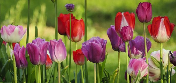 Colorful Tulips: A beautiful row of brightly colored tulips.