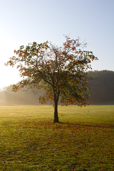 Single autumn tree: A single tree in early morning light in West Sussex, England, in autumn.