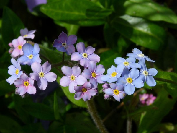 Just blue and violett.......: First real summer morning in neighbours garden: forget-me-not