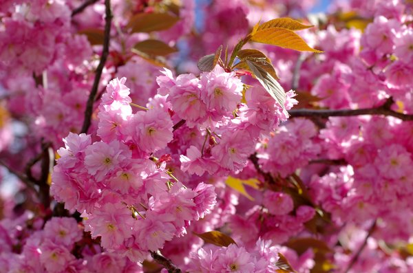 Cherry blossom: Cherry blossom in pink