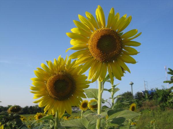 sunflower thai gratis porrfilm mobil