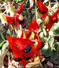 Sturt's desert pea3B
