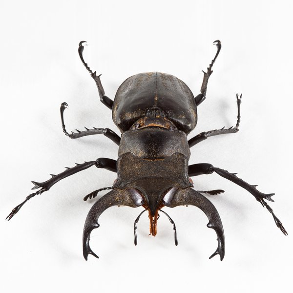 Lucanus Formosanus Beetle: Close-up of a lucanus formosanus beetle isolated on a white background.
