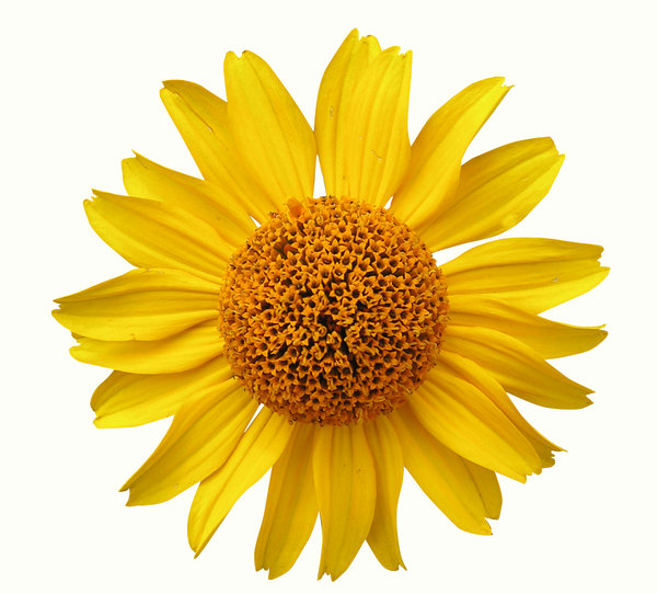 Yellow flower: A yellow flower isolated. Path included. White background.