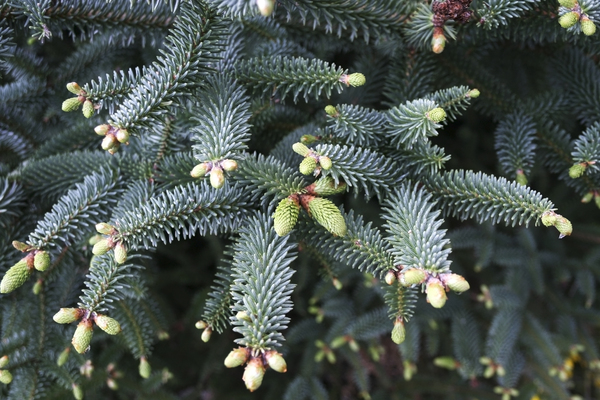 Christmas tree: A wild conifer in southern Spain, with new growth looking like decorations.