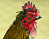 Arabic Rooster