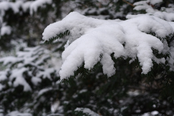 Snow on pine: Pine tree with a layer of snow on top