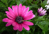 Purple Osteospermum