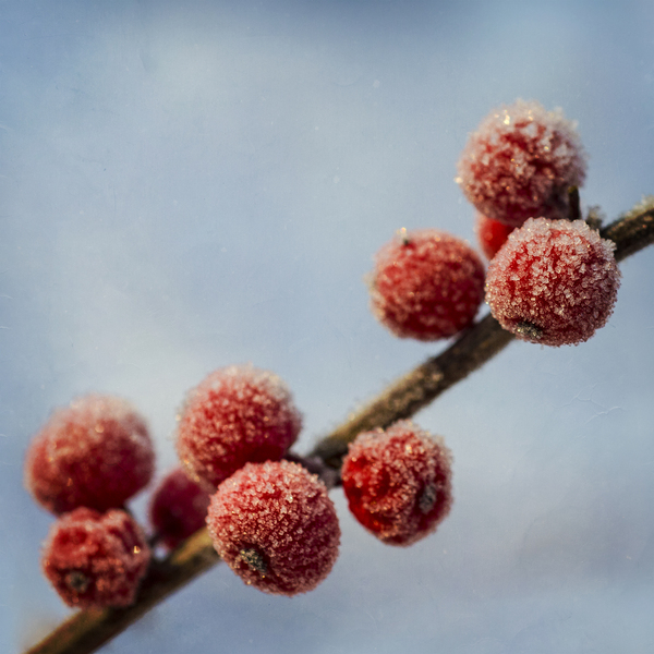Winter berries: no description