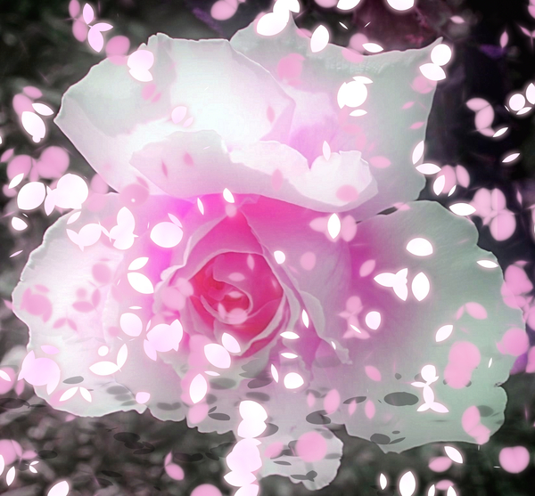 Spring Rose 1: A pink and white rose with a flurry of falling petals. A great illustration for Spring, gardening, love, creation - full of life and colour. You may prefer this: http://www.rgbstock.com/photo/mT62wC6/Springtime
