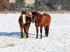 two horses on snow