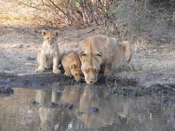 lions in botswana: none