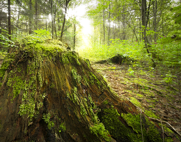 decayed tree stump in natural : Natural deciduous forest landscape with decayed dead tree stump in the foreground and young trees in background - live captures this space back