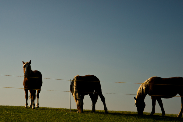 Horses: Three Horses against the blue Sky, fantastic late- Afternoon Sidelight