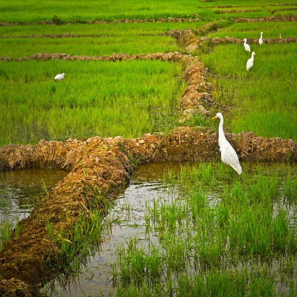 Herons in Paddy Field: White Herons in a Paddy Field, Sri Lanka, Southern Province