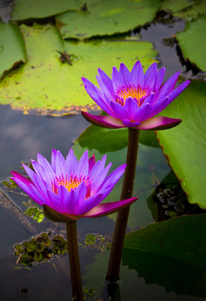 Waterlily - blue Lotus: Sri Lanka´s famous blue Waterlily